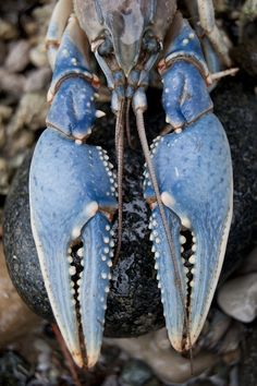 Blue lobster ~ a 1 in 2-million exception to the rust-colored norm.
