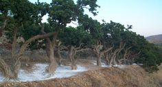Visit Greece | Mastic Villages on #Chios #mastic trees