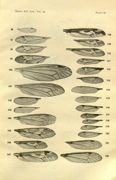 v.54 (1922) - Transactions and proceedings of the New Zealand Institute. - Biodiversity Heritage Library