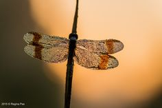 Dragonfly in the early morning