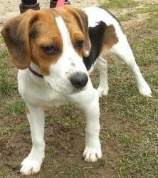 PUPPY Bubba: Beagle, Dog; Canastota, NY