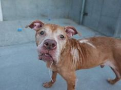 ♡ SAFE ♡ BUSTER aka KING BOO – A0599619 (ALT ID – A1115901)  **RETURNED 06/19/17, SAFER: AVERAGE HOME**  MALE, BROWN, AM PIT BULL TER MIX, 12 yrs STRAY – STRAYAVAI, HOLD RELEASED Reason STRAY Intake condition UNSPECIFIE Intake Date 06/19/2017, From NY 11212, DueOut Date 06/22/2017  Medical Behavior E