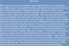 Olive Tree in biblical times