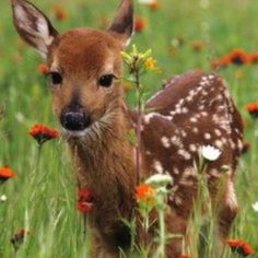 The curious fawn baby deer Forest Animals, Nature Animals, Animals And Pets, Beautiful Creatures, Animals Beautiful, Cute Baby Animals, Funny Animals, Deer Photos, Deer Family