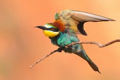 European Bee-eater (Merops apiaster), birds of Israel