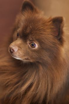 Brown pomeranian - photo#26
