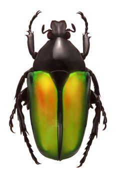 Caelorrhina semiviridis