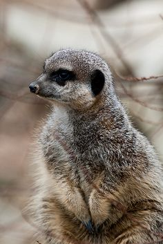 Meerkat at ZSL London Zoo by Sophie L. Miller, via Flickr
