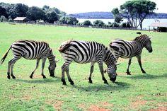 zebra in national park Brioni, Croatia