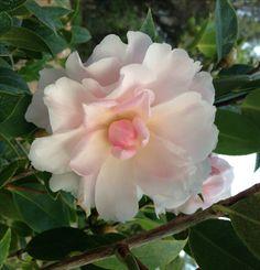 Jury's Pearl Camellia (Camellia pitardii x Tomorrow) Monrovia