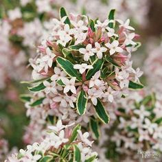 As fragrant as it is colorful, daphne is great choice for part-shade locations where deer are a problem. Growing just 2 to 3 feet tall, this handsome deciduous shrub develops clusters of whitish-pink Deer Resistant Shade Plants, Deer Resistant Garden, Deer Resistant Perennials, Hardy Perennials, Spring Perennials, Garden Shrubs, Flowering Shrubs, Trees And Shrubs, Shade Garden
