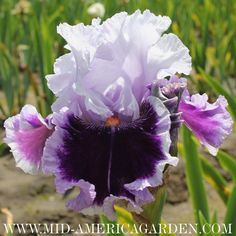 "Daring Deception ~ TB 35"" ~ Johnson 2012 ~ Midseason ::: http://wiki.irises.org/bin/view/TbAthruE/TbDaringDeception"