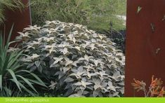 Strobilanthes gossypinus - Google Search Tropical Design, Tropical Plants, Jungle Gardens, Centennial Park, Small Courtyards, Garden Items, Pool Designs, Water Features, Google Search