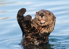 Happiest Otters Ever Are Here To Brighten Your Day