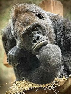 Me thinks that you are much too muchy. Primates, Animals And Pets, Funny Animals, Cute Animals, Gorilla Tattoo, Silverback Gorilla, Ape Monkey, Mountain Gorilla, Charles Darwin