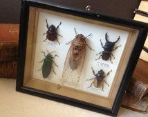 Vtg Cicada & Insect Collection // Framed