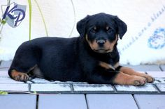 Buffy – Rottweiler Puppies for Sale in PA | Keystone Puppies