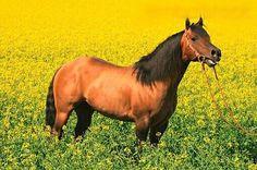 Bay American Quarter Horse | We Heart It