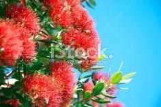 New Zealand Pohutukawa and Sky Royalty Free Stock Photo Twitter Header Photos, Twitter Headers, Sky Photos, Summer Sky, Medicinal Plants, Native Plants, Image Now, Royalty Free Photos, Christmas Time