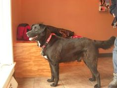 Rudy is an adoptable Black Labrador Retriever Dog in Ada, MI. Hey, hey! My name is Rudy and I am real glad to meet you! I am happy about a lot of things these days. I am happy that Vickys Pet Connect...