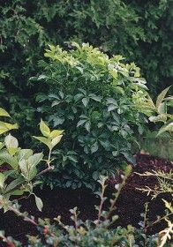 FIVELEAF ARALIA  Acanthopanax sieboldianus  QuickCode  SH0001      Height  200cm  Spread  200cm  Zones  5-9  Usage  Mp - Dt - H  Click on an attribute below for a list of plants with the same characteristic :    The Fiveleaf Aralia is one of the best shrubs for heavily shaded areas. It easily withstands poor soil, urban air pollution and windy conditions. The foliage is glossy, deeply cut and covered with prickles on the underside.