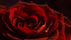 A rose speaks ... - A rose speaks ...  A rose speaks of love silently, in a language known only to the heart