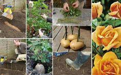 Dicas do Plantio de Rosa com Batatas