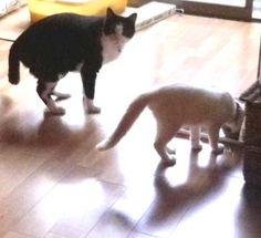 後輩猫(茶々・5ヶ月)にエサを横取りされてもただじっと見ている大人なディネット