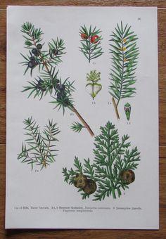 Botanischer Druck - Pflanzen Botanik Druck Atlas des Pflanzenreichs ca. 1920 16 Plants, Ebay, Botany, Art Print, Printing, Plant, Planets