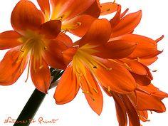 Kunstdruck-Blumenbild oder Leinwandbild orange Clivie