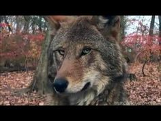 Take Action Now! There Are Only 45 Red Wolves Remaining In The Wild
