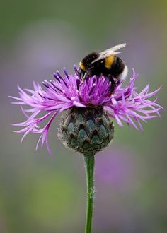 stop the spread of noxious knapweed