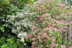 Honeysuckle and Euonymus   Plant & Flower Stock Photography: GardenPhotos.com