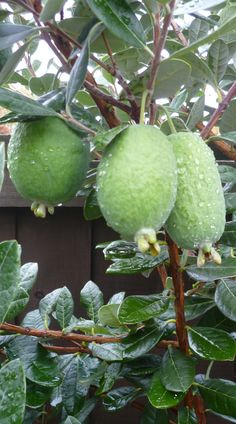 The Feijoa - Tropical fruit from New Zealand ~ Exotic Fruit, Tropical Fruits, Pitaya, Fruit And Veg, Fruits And Veggies, New Zealand Food And Drink, New Zealand Landscape, New Zealand Houses, Kiwiana