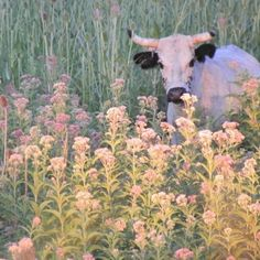 Find images and videos about aesthetic, nature and flowers on We Heart It - the app to get lost in what you love. Des Fleurs Pour Algernon, Farm Animals, Cute Animals, Fluffy Cows, Baby Cows, Nature Aesthetic, Cute Cows, Dibujos Cute, Photocollage