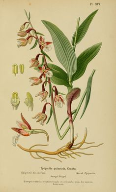 Epipactis palustris ~ by Henry Correvon