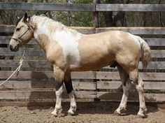 """Tall Trees Misdemeanor"" - 2005 Buckskin Tobiano Bashkir Curly Horse Stallion"