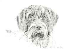 tucker by on DeviantArt Celtic Cross Tattoos, Black Ink Art, Schnauzer Art, Griffon Dog, German Wirehaired Pointer, Dog Paintings, Vizsla, Black And White Pictures, Dog Portraits
