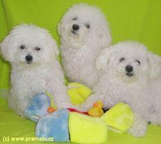 Bessy 7/2012 - Bichon Bolognese / Boloňský psík