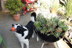 Poppytalk: Gardening Plans: Succulents