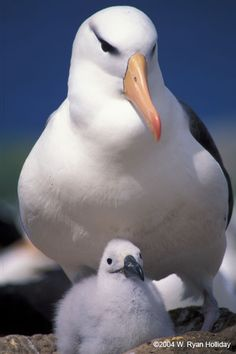 19 of the 21 albatross species are threatened worldwide, the highest proportion of endangered species in the family of birds.
