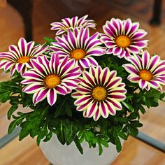 Gazania rigens seeds Flowers Seeds For Bonsai Garden Balcony 2016 Semillas Gazania Splendens Chrysanthemum Most Beautiful Flowers, Rare Flowers, Pretty Flowers, Vintage Flowers, Bonsai Garden, Garden Pots, Flower Seeds, Flower Pots, Flower Pot Design