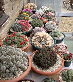 cactus1- Flores