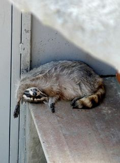 Whether we like it or not raccoons are a part of some of our ecosystems. Heres some pictures of them being cute:)