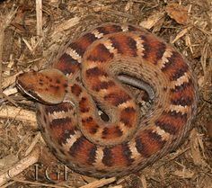 Crotalus willardi meridionalis; Southern Ridge-nosed Rattlesnake