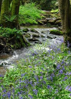 pagewoman:    Woodland Stream with Bluebells  by John Davis