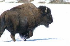 nunavut national animal