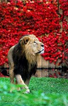 "Gorgeous lion.  Support ""Southern California Cat Adoption Tails"" www.catadoptiontails.com"