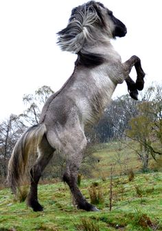highland pony | excalibur