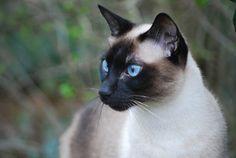 Chat  à poils courts : le chat siamois                                                                                                                                                                                 Plus